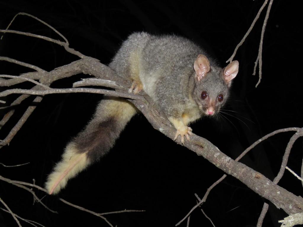 Possum - Dryandra Woodland - Wildlife - Mammals