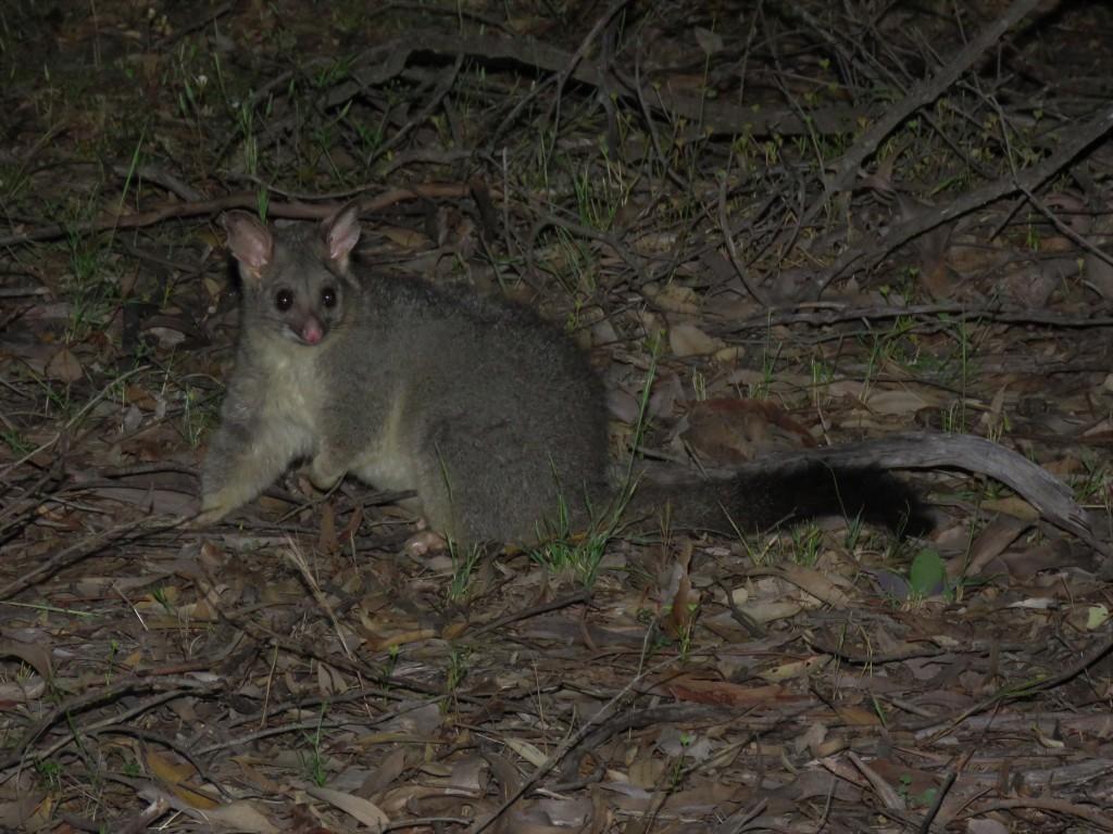 Possum - Wildlife - Dryandra Woodland - Mammals