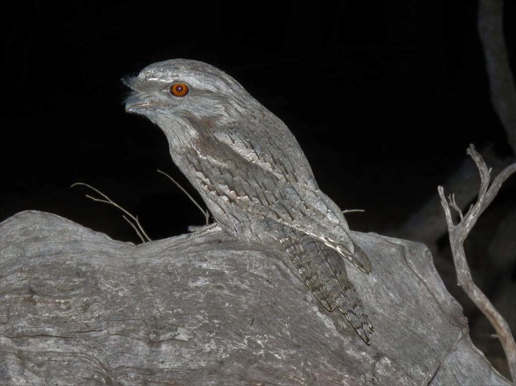 Wildlife - Dryandra Woodland - Birds - Frogmouth
