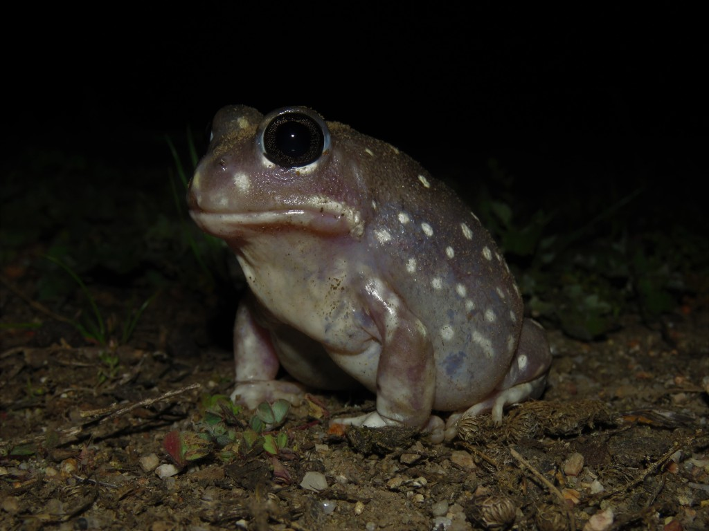 Wildlife - Tutanning Nature Reserve- Frog - Heleioporous