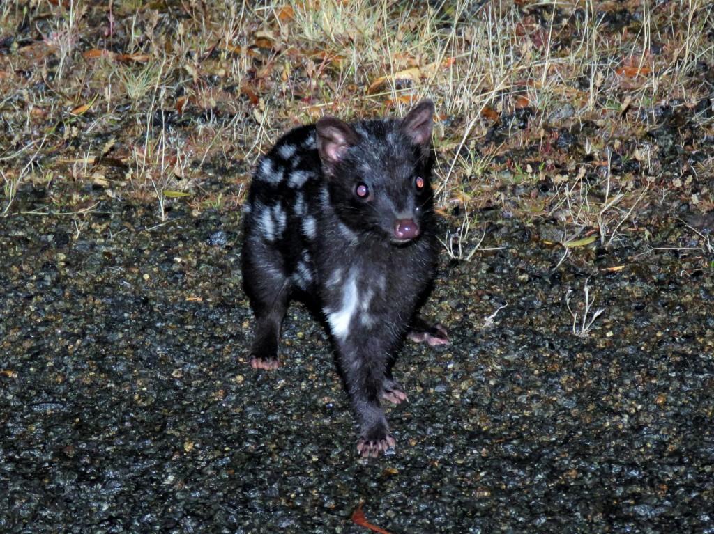 Quolls and other Wildlife of Tasmania