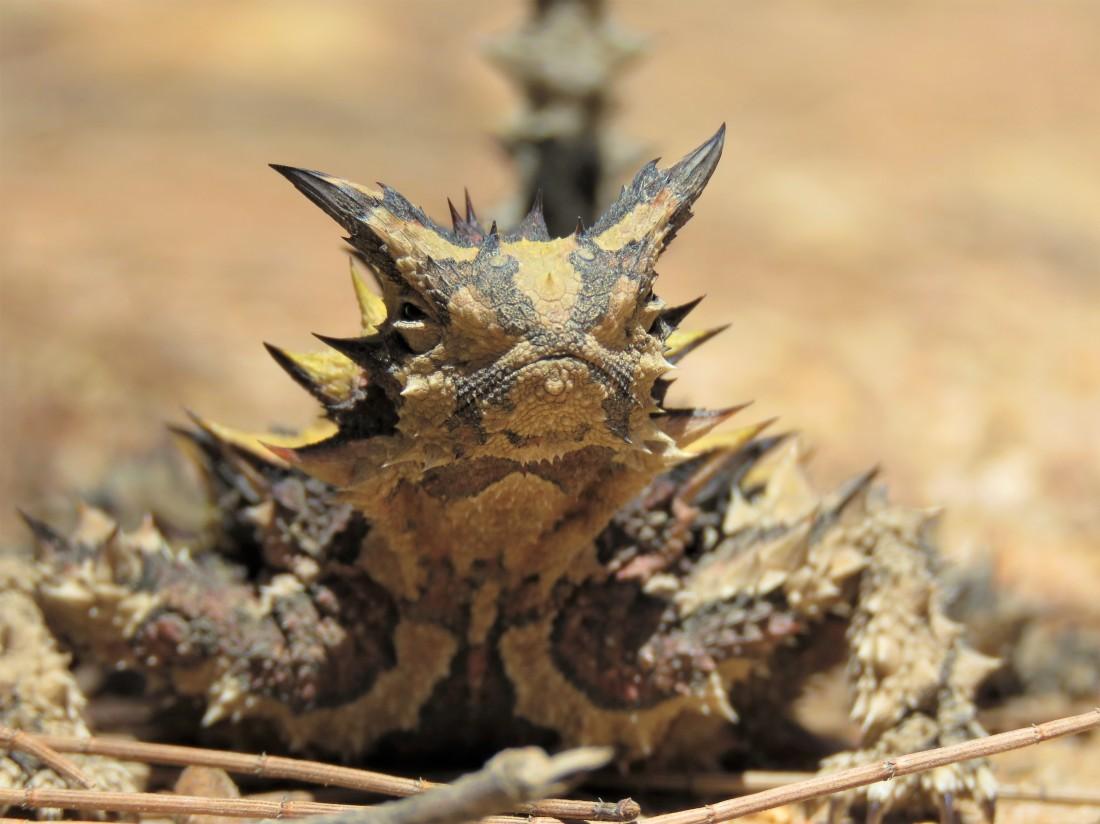 Herping - Thorny Devil - Tutanning Nature Reserve - Wildlife