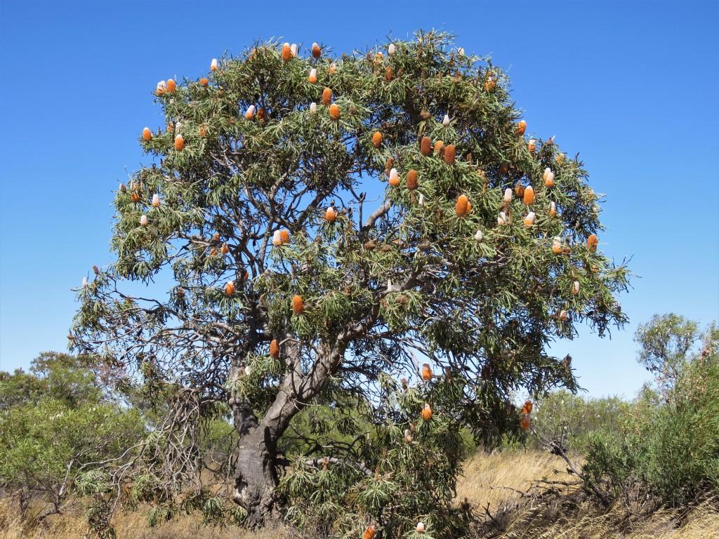Acorn Banksia - Wheatbelt