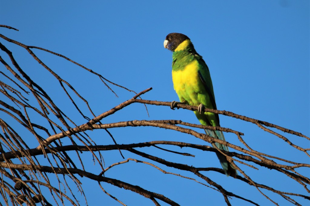 Ringneck Parrot - Kokerbin Rock