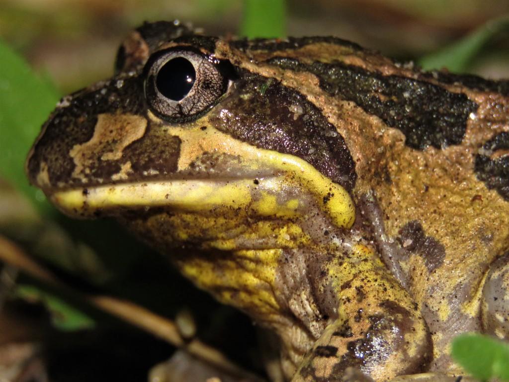 Banjo Frog - Tuart Forest - Wildlife