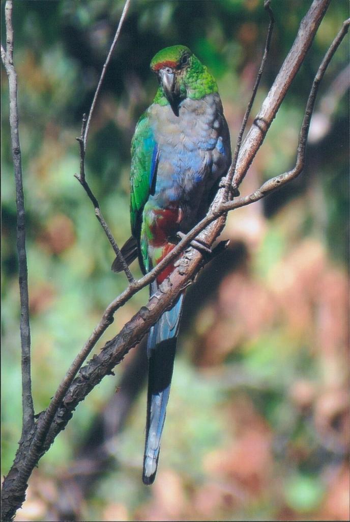 Bibbulmun Track - Parrot - Wildlife