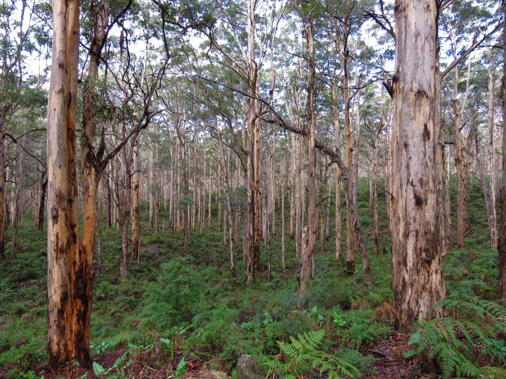 Karri Trees - Forest