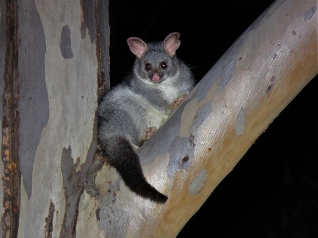 Possum in Tree - Mammal - Dryandra Woodland