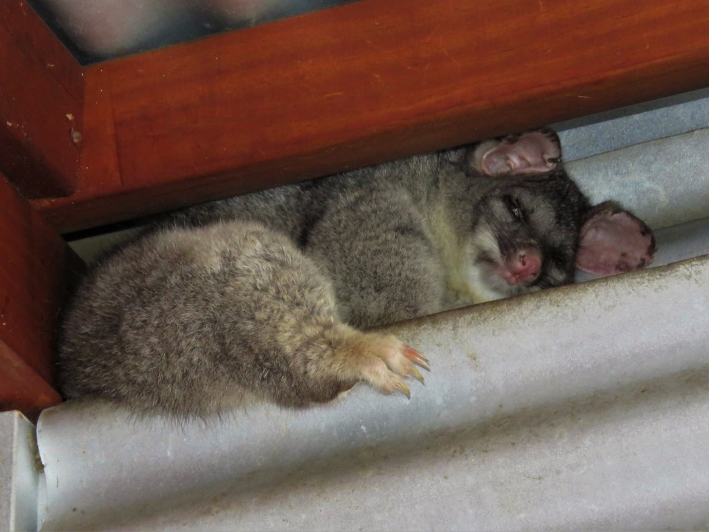 Brushtail Possum Sleeping in Cottage Roof