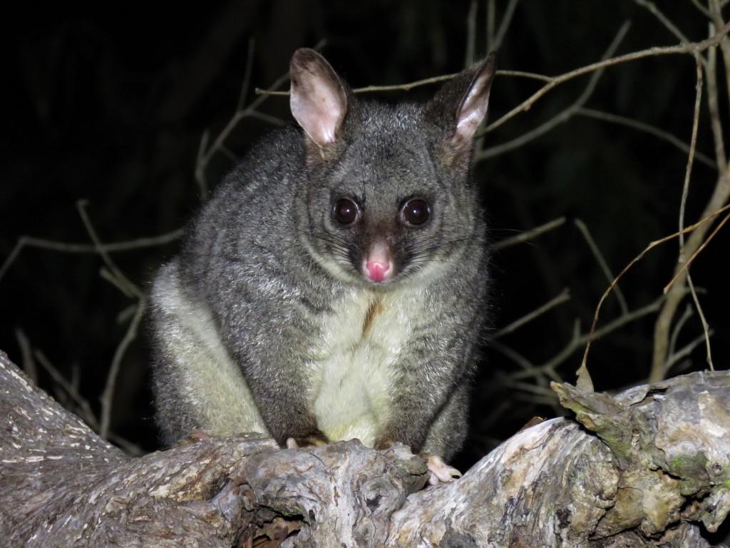 Possum - Tuart Forest