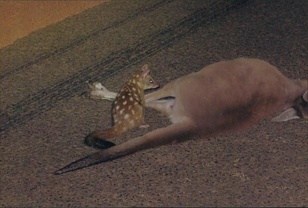 Quoll feeding on roadkill