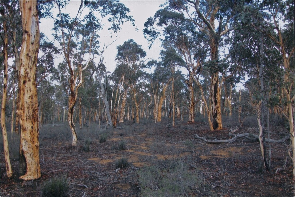 Wandoo Woodland at Dryandra Woodland
