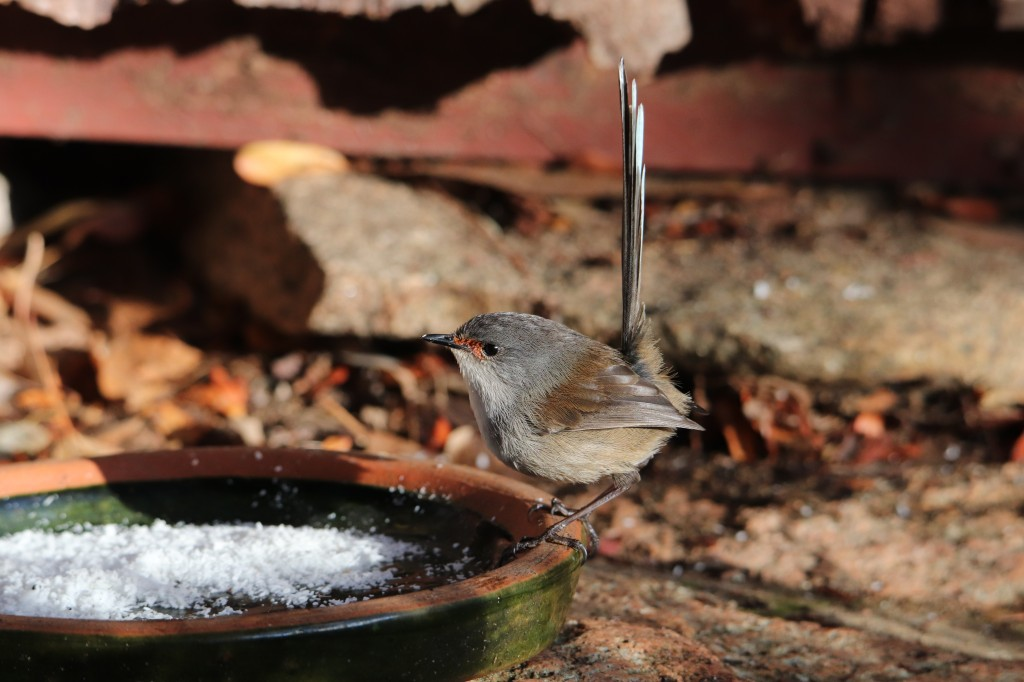 Fairy Wren - Coconut - Feeding