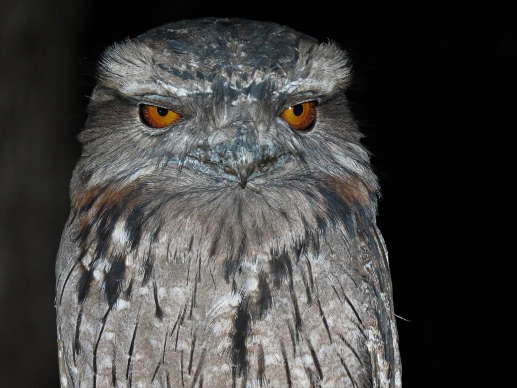 Birds - Wildlife - Frogmouth