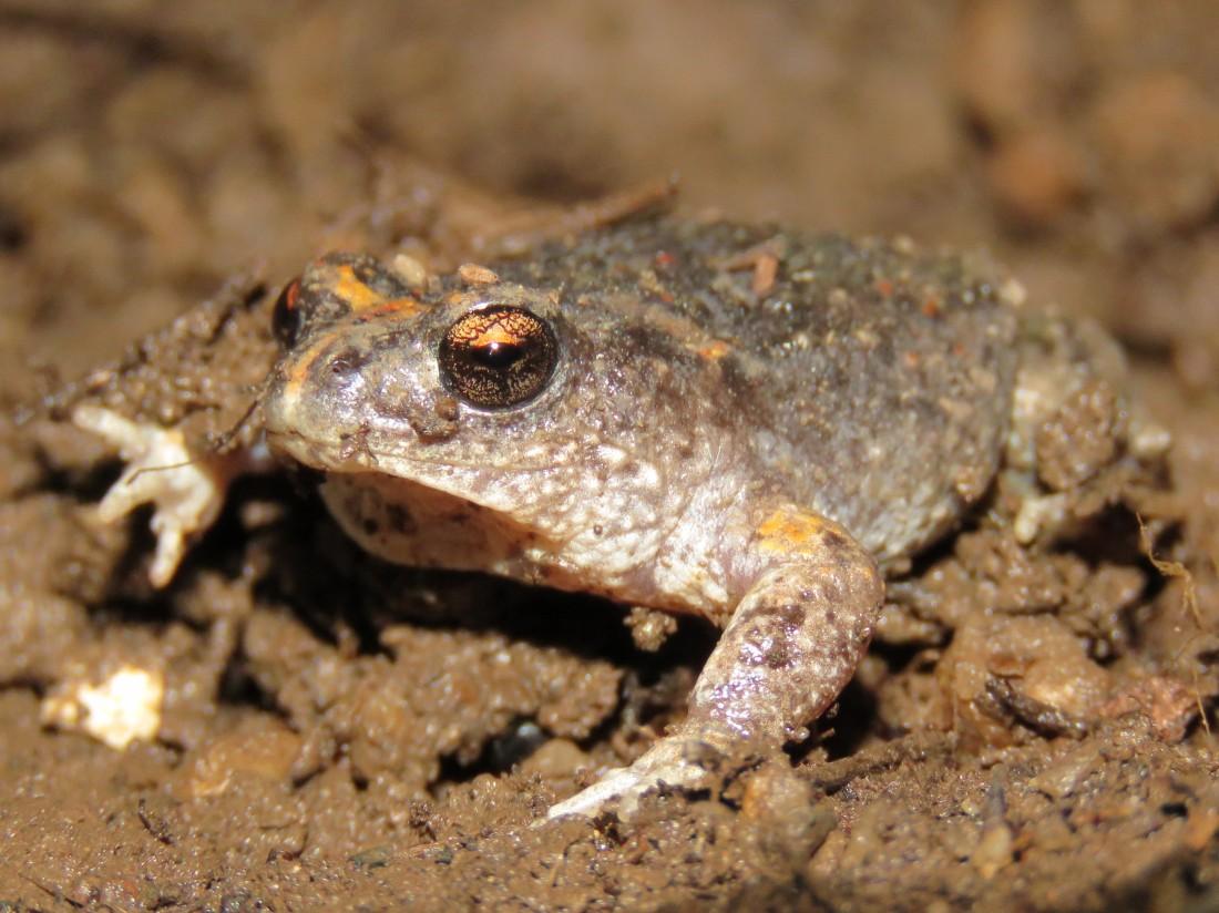 Frog - Tutanning Nature Reserve - Pseudophyrne
