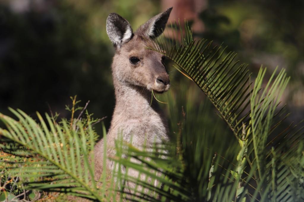 Kangaroo and Zamia Plant at Perup Nature Reserve