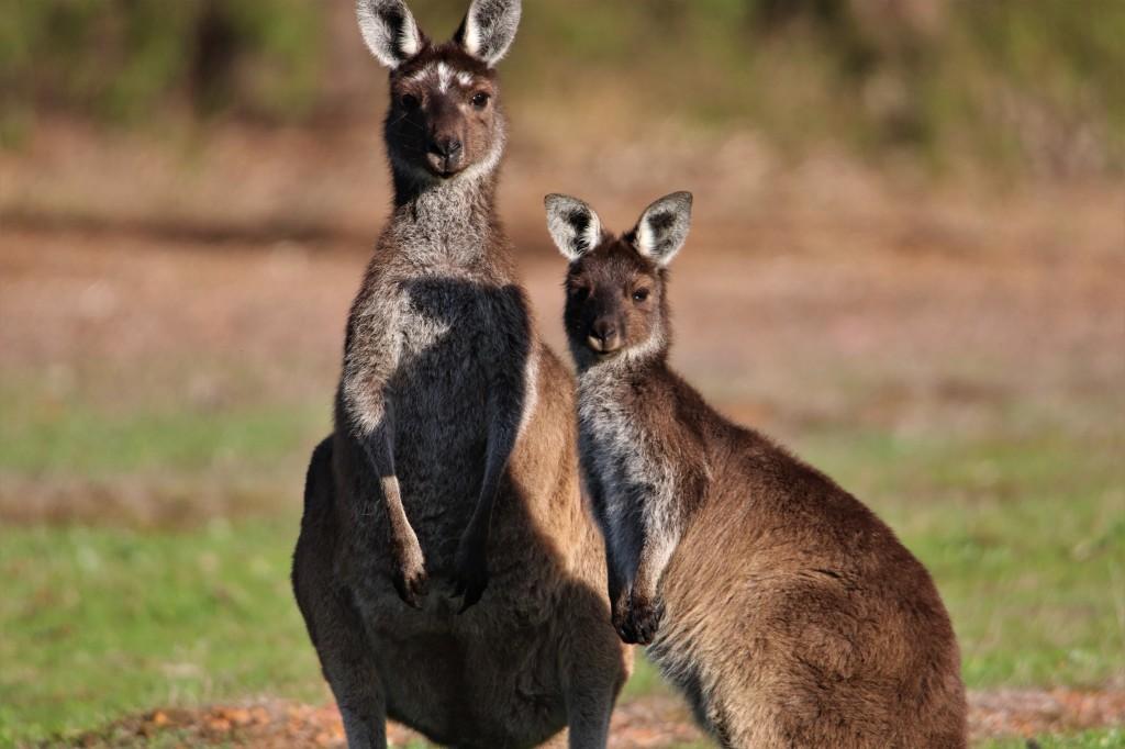 Kangaroos - Margaret River