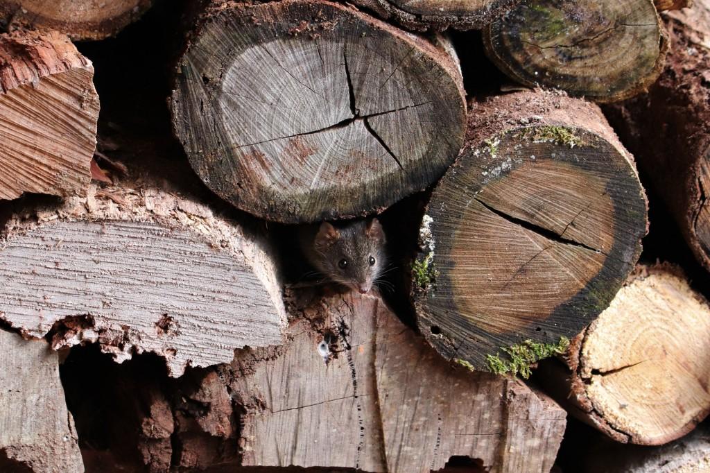 Antechinus hiding in woodpile