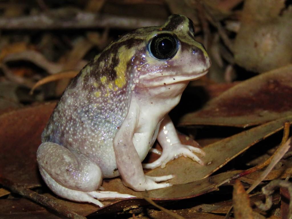 Frog - Wildlife - Margaret River