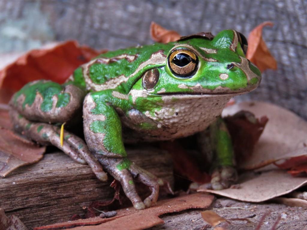 Tree Frog - Wildlife - Green