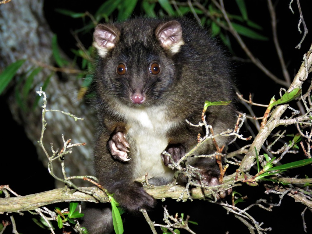Wildlife - Possum - Tuart Forest - Busselton