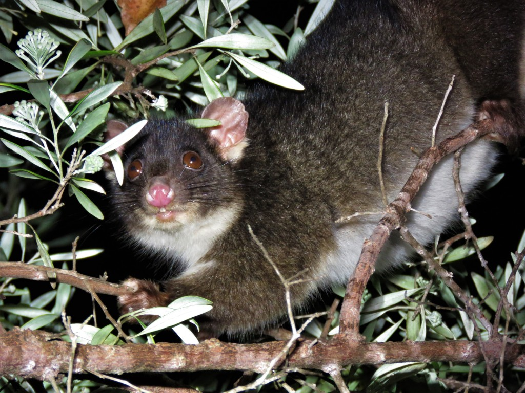 Possum Feeding - Wildlife - Mammals