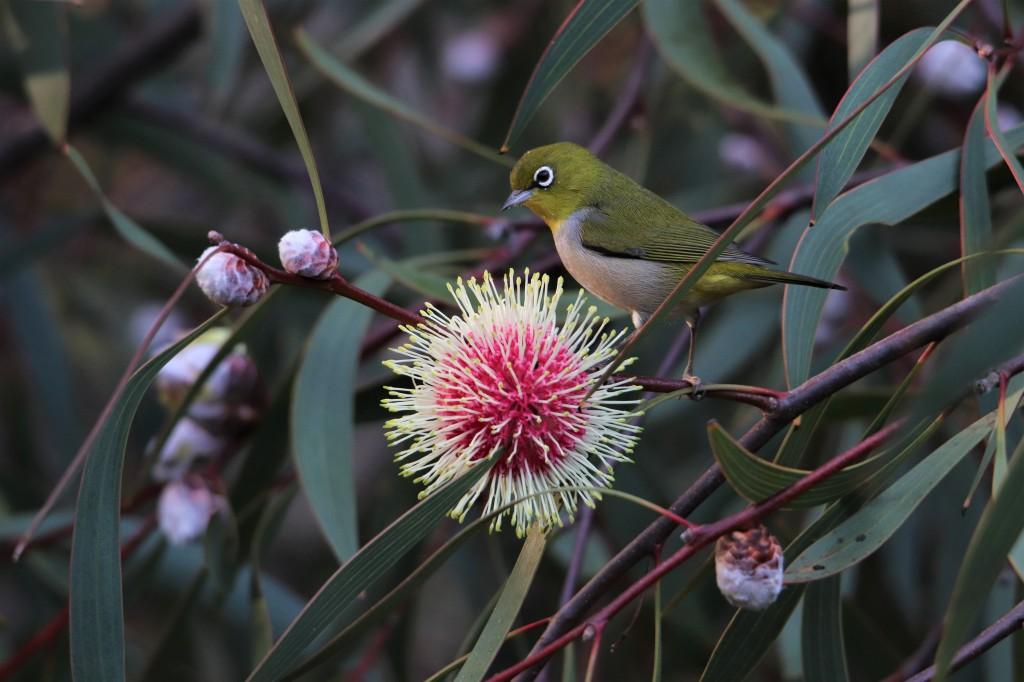 Pin-cushion Hakea - Bird - Wildlife