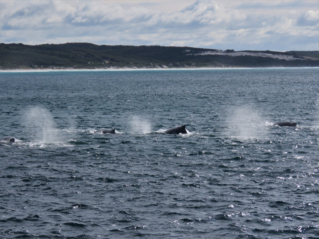 Southern Right Whales in Southern Ocean