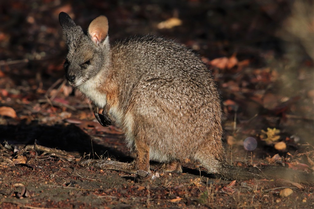 Tammar Wallaby Sunbathing at Perup Nature Reserve