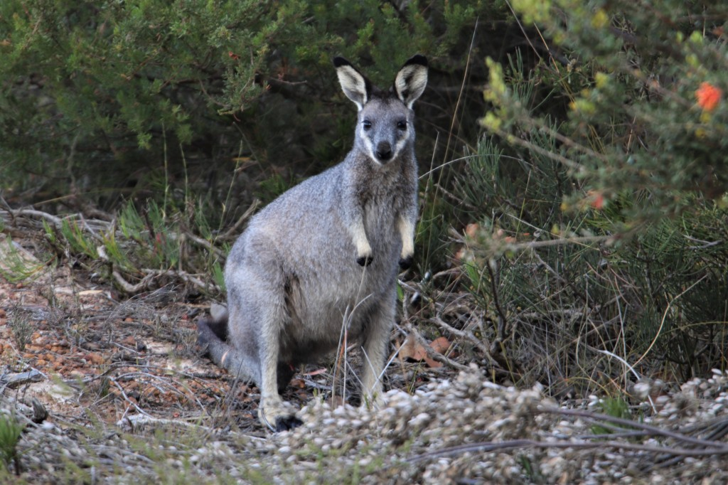 Wallaby Browsing Fitzgerald River