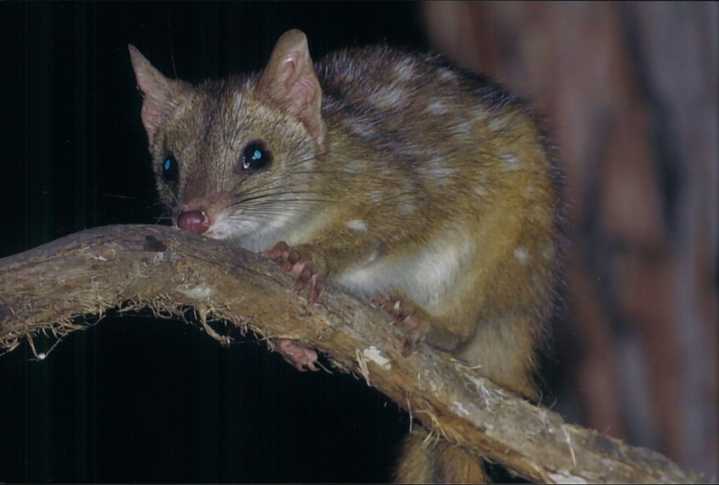 Western Quoll or Chuditch at Perup Nature Reserve