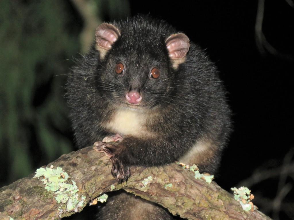 Possum on branch in tuart forest