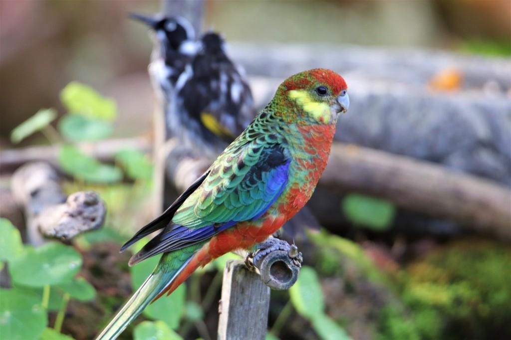 Birdbath - Western Rosella