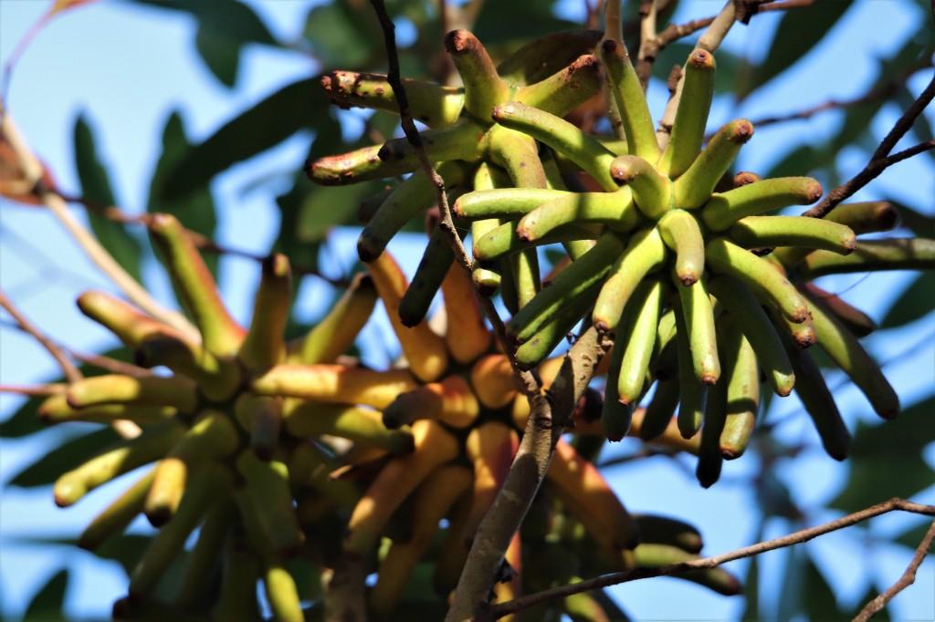 Yate Tree Flower Bud - Margaret River