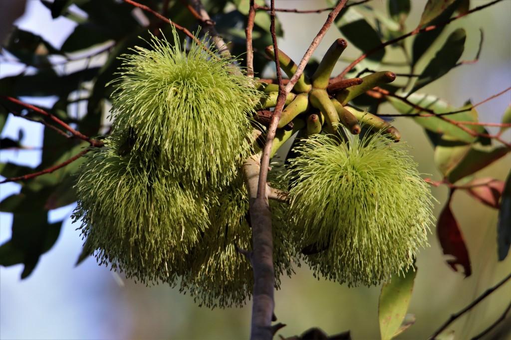 Flowering Tree - Margaret River