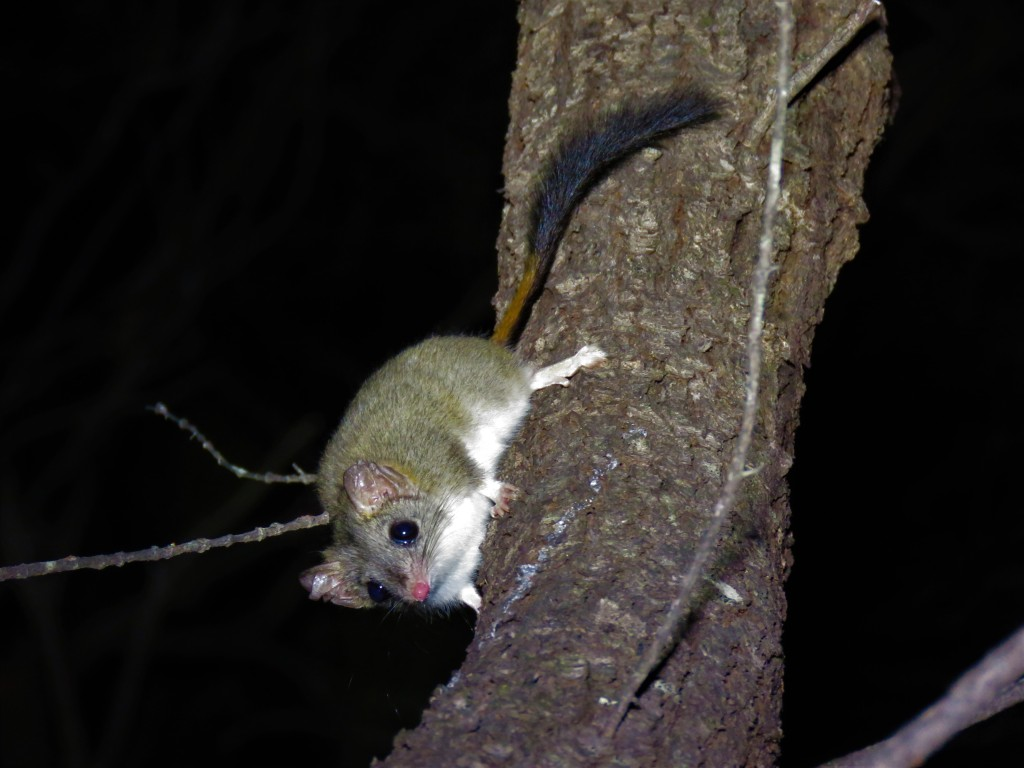 Red-tailed Phascogales