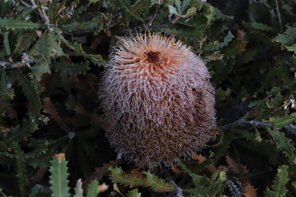 Bauer's Banksia