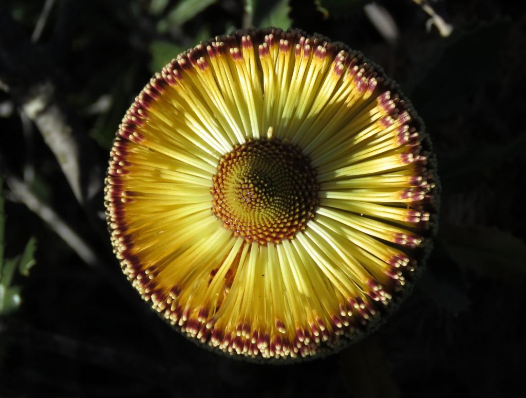 Southern Plains Banksia