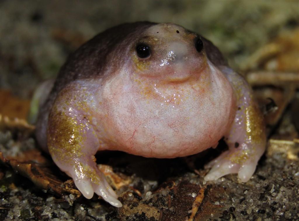 Turtle Frog Perth