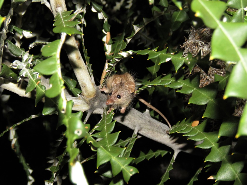 Honey Possums and Banksias